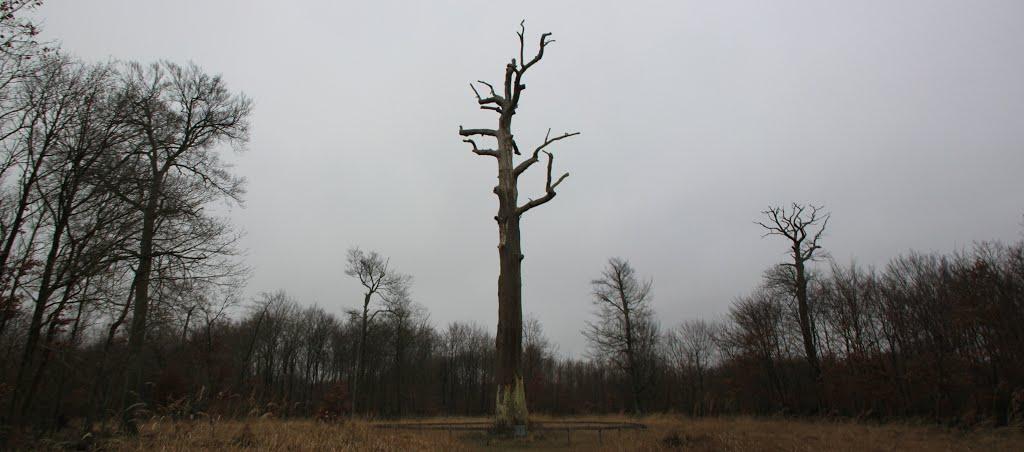 Chêne Jupiter (Foret de Fontainebleau)