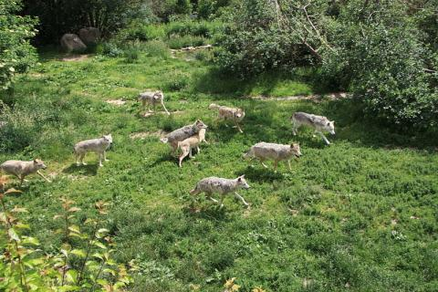 Parc à loups du Gévaudan By User:Ancalagon (Own work) CC BY 3.0 via Wikimedia Commons