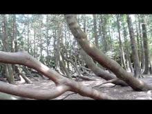 Vidéo du Thuya géant de Vitré