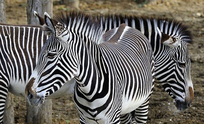 Parc Zoologique de Paris By Rog01 from France CC BY-SA 2.0 via Wikimedia Commons