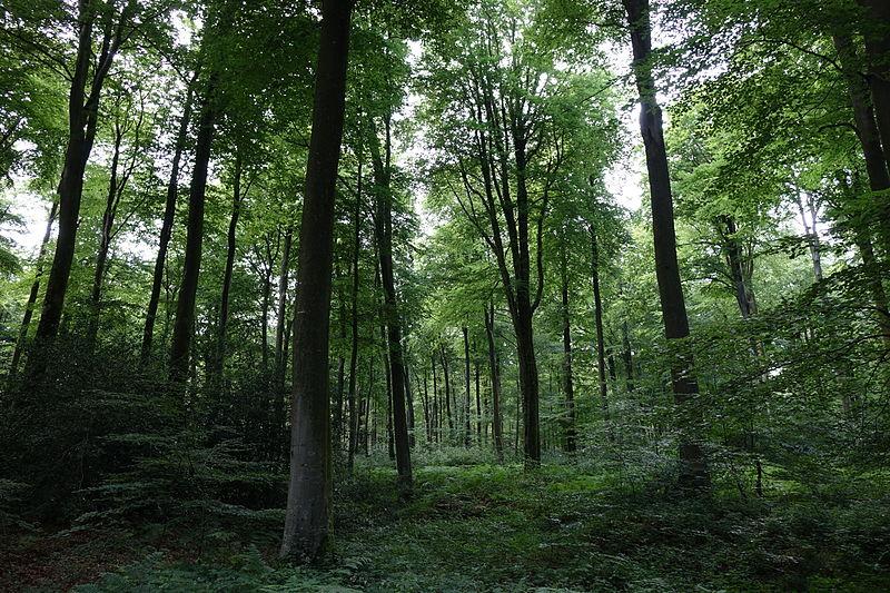 Forêt d'Eawy By Eponimm CC BY-SA 4.0 via Wikimedia Commons