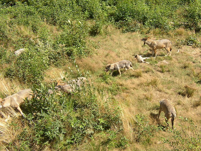 Parc animalier des Monts de Guéret Les Loups de Chabrières By Alertomalibu Own work CC BY-SA 3.0 via Wikimedia Commons