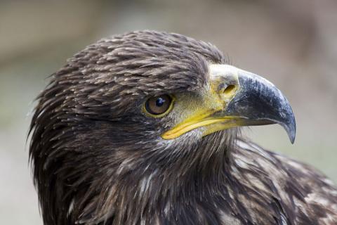 La volerie des aigles By Pixelk (Own work) CC BY-SA 3.0 via Wikimedia Commons