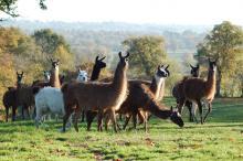 Les Lamas du Tilloux photo de allier-auvergne-tourisme.com
