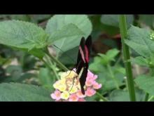 L'île aux papillons en vidéo