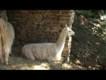 Les Lamas de la Montagne Noire à Castans en vidéo