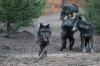 Loups - Zoo Labenne